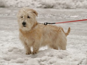 Tara, Glen of Imaal Terrier1