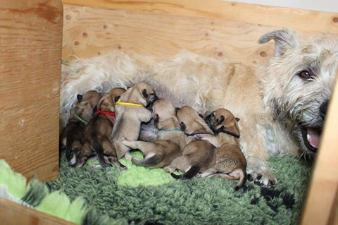 Idunn and pups